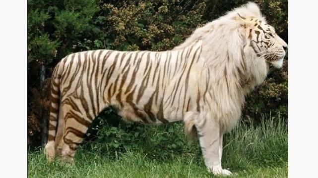 Najinteresantniji životinjski hibridi