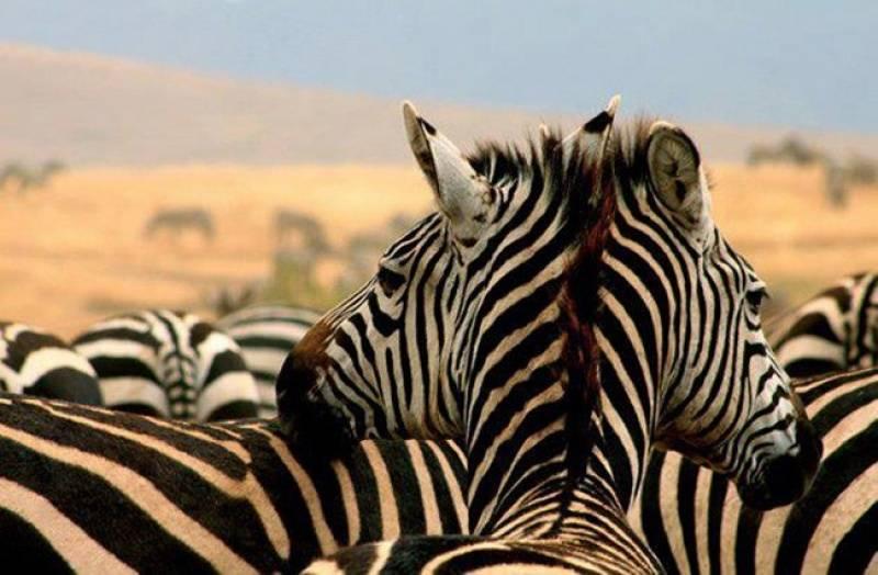 dvoglava zebra2